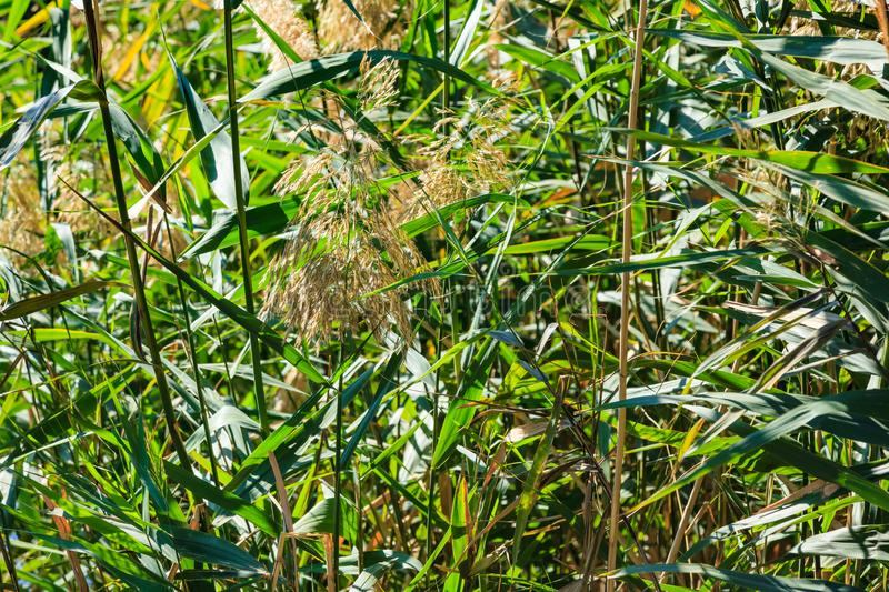 Green stalks of reeds on a green blurred background. Green stalks of reeds on a green blurred background, the leaves in the sunlight growing from the water royalty free stock image