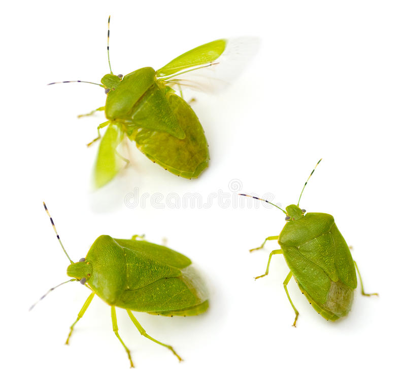 Download Green Stink Bug stock photo. Image of open, white, three - 15506304