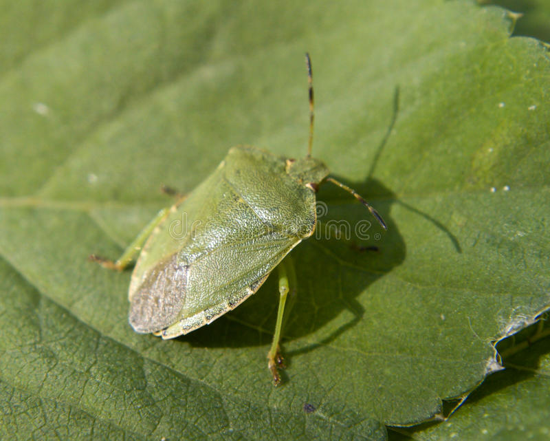 Green stink bug. Close up to green stink bug stock photography