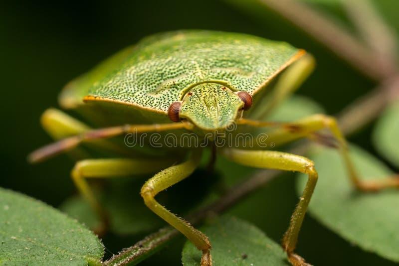 Download Green Stink Bug stock image. Image of flora, details - 25818815