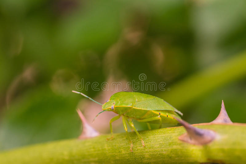 Download Green Stink Bug stock photo. Image of green, biology - 68770456