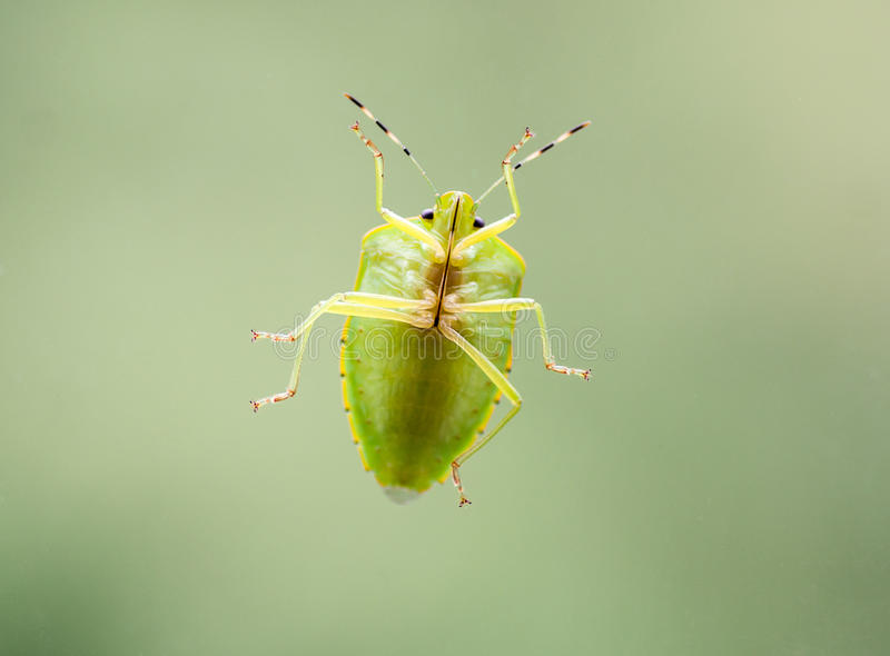 Green Stink Bug. The underside view of a green stink bug`s or green soldier bug. The color is typically bright green, with narrow yellow, orange, or reddish royalty free stock photography