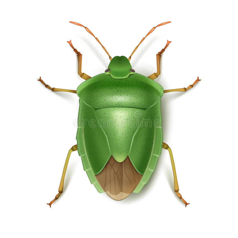 Green stink bug. Vector Green stink bug close up top view isolated on white background vector illustration