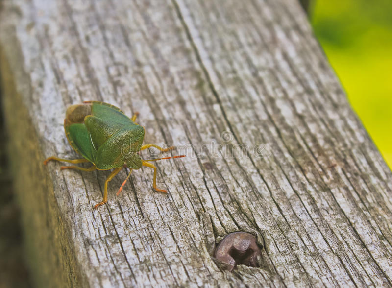 Green stink bug. (Nezara viridula) on wooden handrail with royalty free stock photography