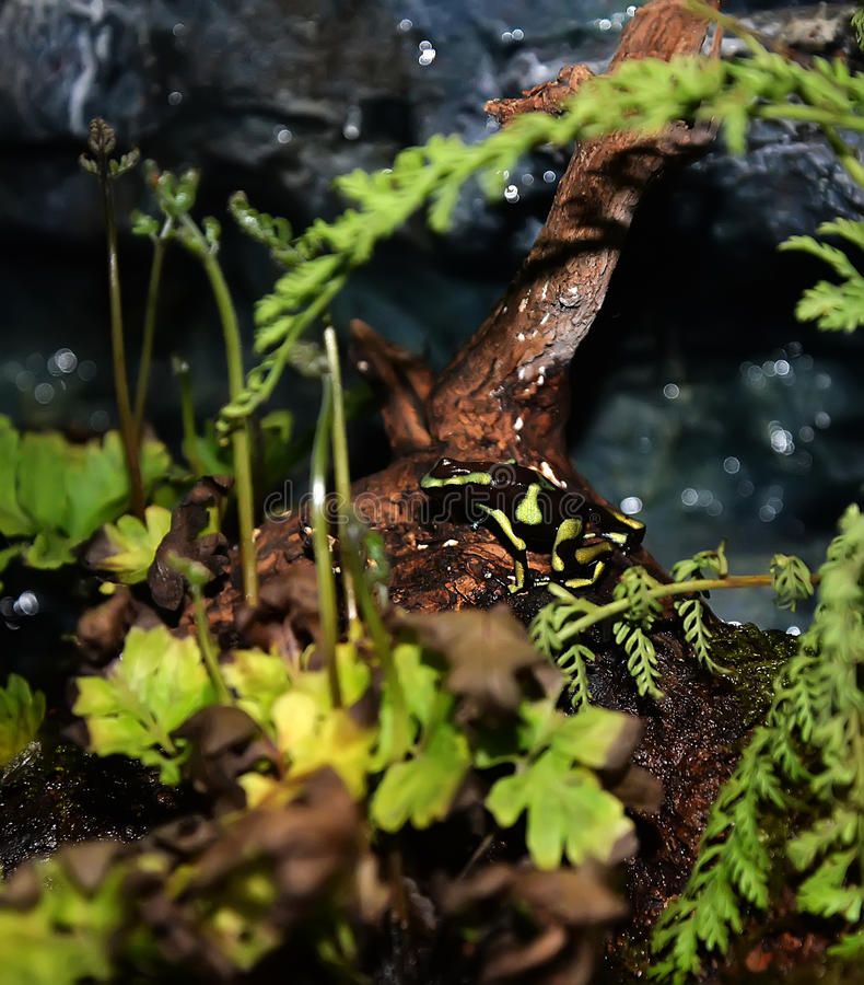 Green Strawberry poison dart frog. Poison dart frog from Panama rain forest. This exotic amphibian has many color variations stock photography