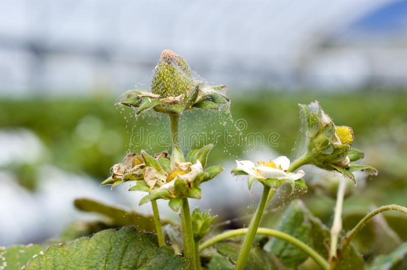 Red spider mite infestation on a strawberry crop. A green strawberry t and flowers with webbing and two spotted spider mites royalty free stock image