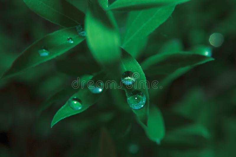 Green street plant after rain with transparent dew drops royalty free stock images