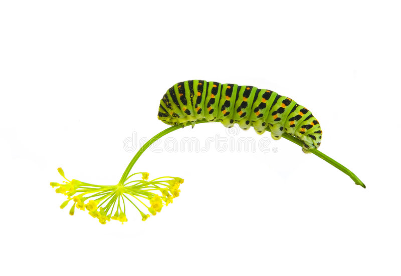 Download Green striped caterpillar stock photo. Image of bizarre - 6403886