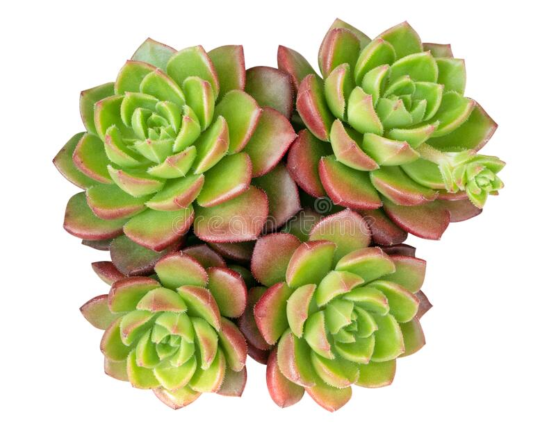 Green succulent cactus flower tropical plant top view isolated on white background, clipping path. Included royalty free stock photos