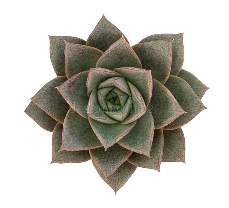 Green succulent cactus flower tropical plant top view isolated on white background, path royalty free stock photos