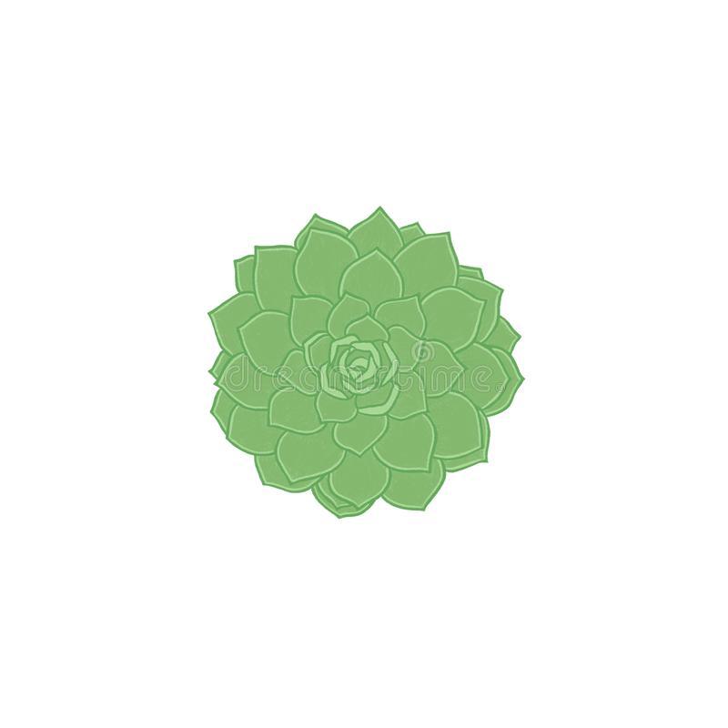 Green succulent echeveria isolated on white background. Element for greeting cards, invitations, covers and others items. Green succulent echeveria isolated on royalty free illustration