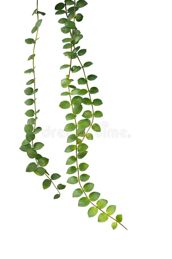 Green succulent leaves hanging climber plant Dischidia sp. iso. Lated on white background, clipping path included royalty free stock image