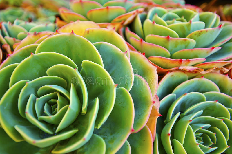 Green Succulent Plant royalty free stock photos