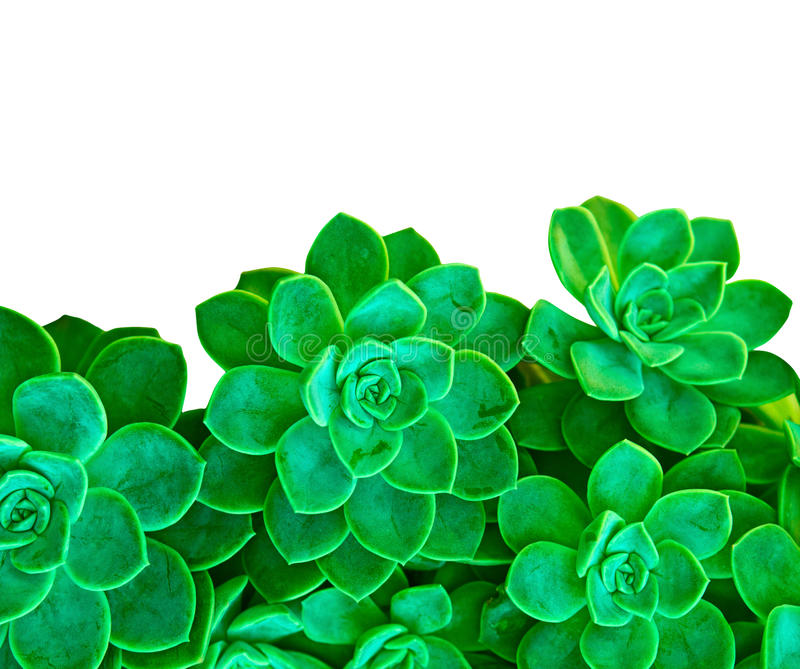 Download Green Succulent Plant On White Stock Photo - Image of chicks, flora: 24228598