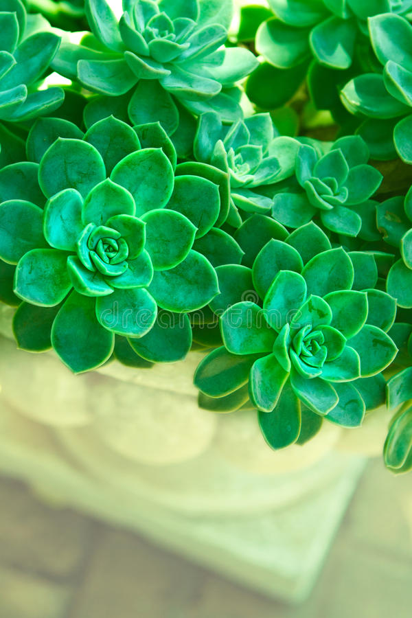 Green succulent plants. Cluster of Echeveria Elegans (Hen and Chicks) in a garden planter with space for text royalty free stock photography