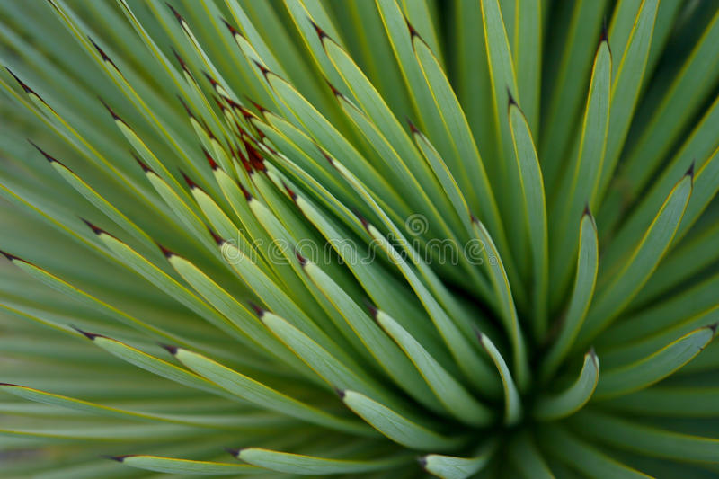 Green Succulent Sharp Cactus, Mexico Royalty Free Stock Photography