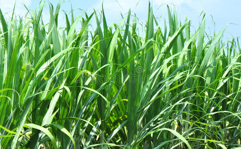 Green sugar cane fields royalty free stock photo