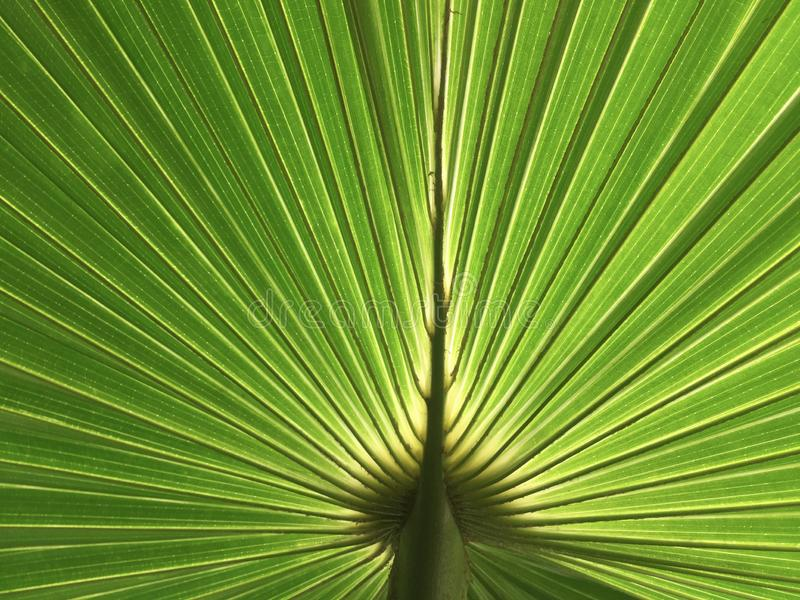 Green sugar palm leaf texture and background royalty free stock image