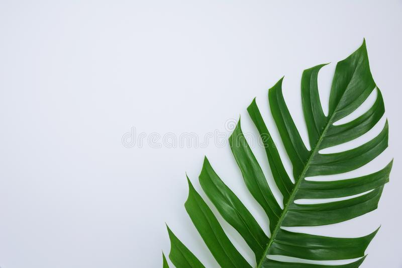 Green sugarcane leave on white background and copy space for ins. Ert text stock photo