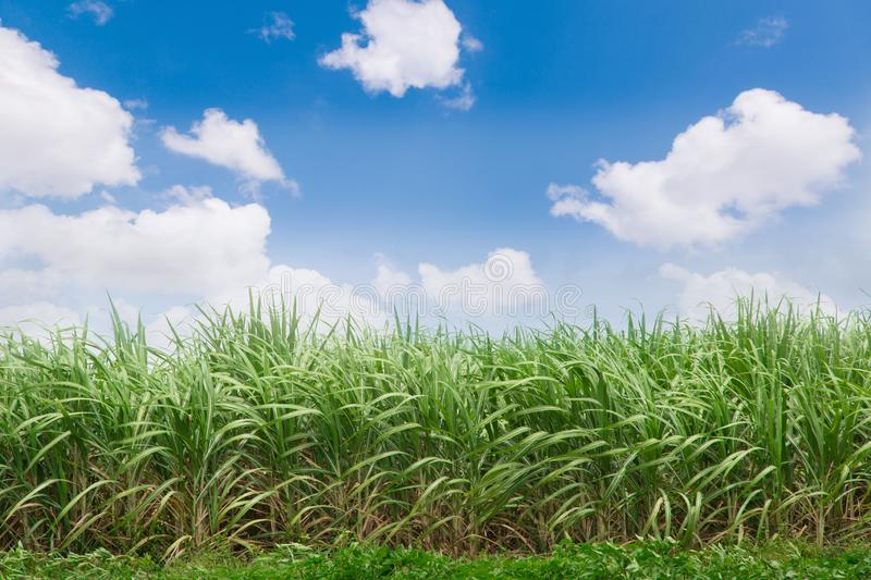 Green sugarcane plantation with blue sky and white cloud stock images