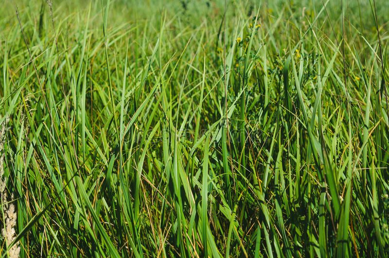 Green summer grass backgrounds. Green summer saturated grass background royalty free stock photography