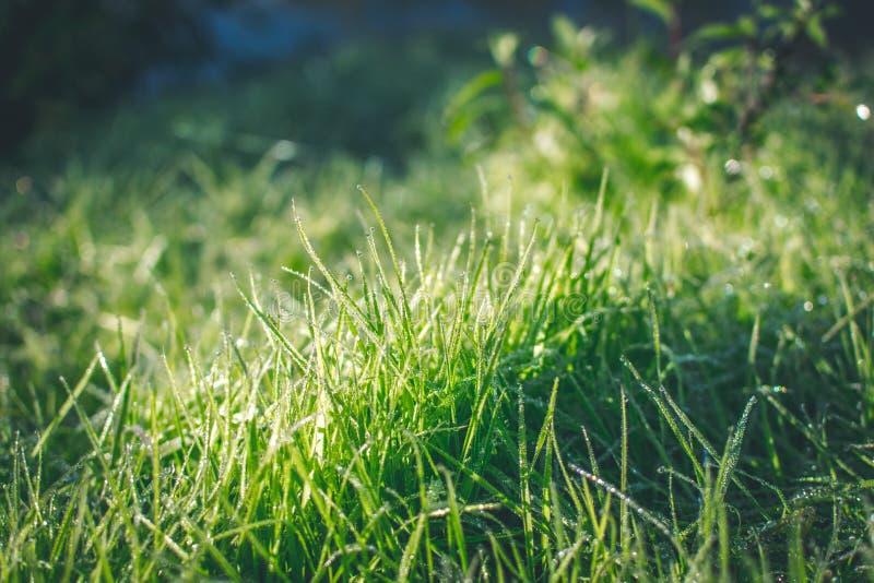 Green summer grass with dew in sunshine. Green summer grass with drops dew in sunshine stock images