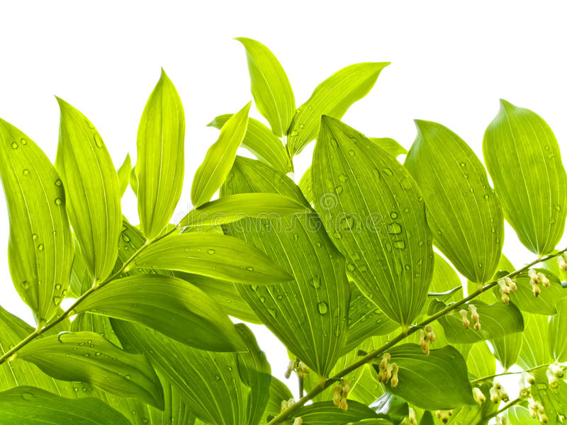 Download Green Summer Leaves With Dew Drops Stock Photo - Image: 10507320