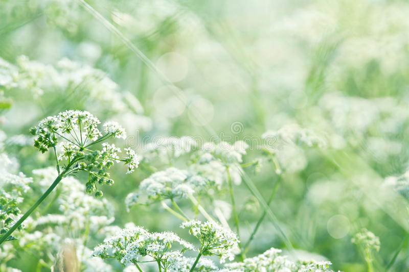 Green summer meadow with Queen Annes lace. White wild carrot flowers (Queen Annes lace) in a lush green summer meadow with sunlight and shallow focus stock photos