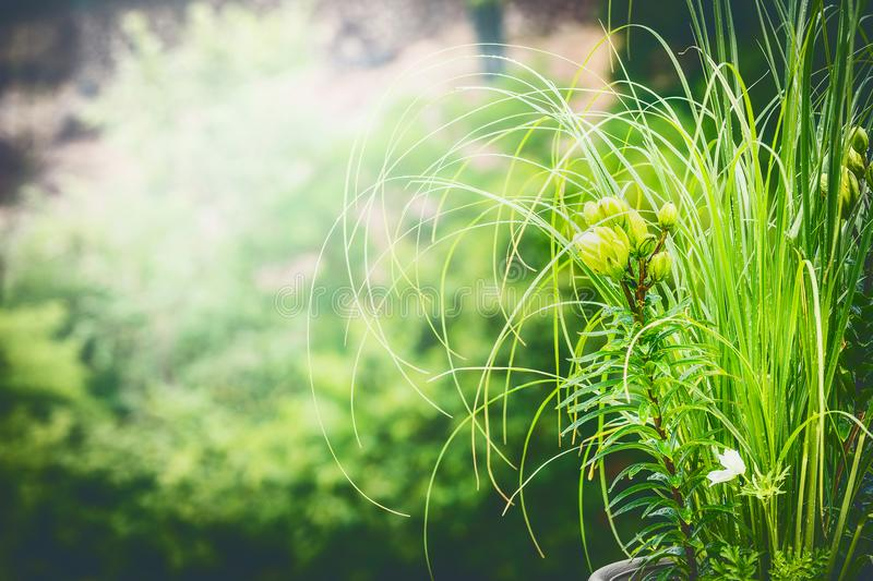 Green summer nature background with lily and ornamental grasses. Outdoor stock image