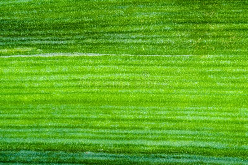 Green surface of leek leaf close-up. Natural background - green surface of leek leaf close-up stock photos