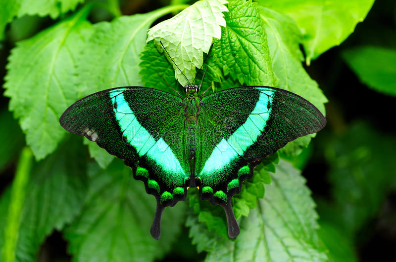 Green Swallowtail Butterfly stock image