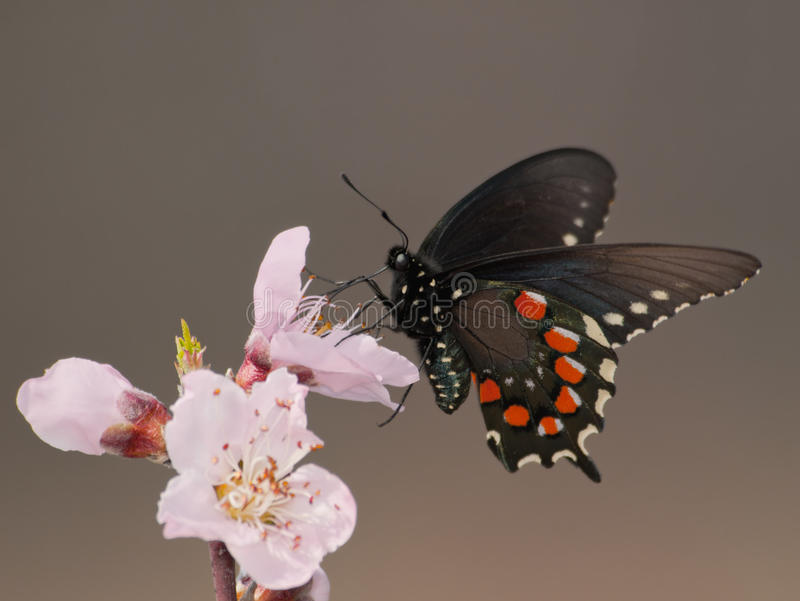 Green Swallowtail butterfly in early spring royalty free stock photography