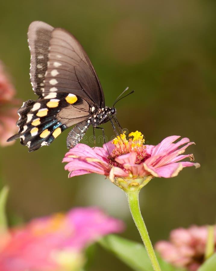 Green Swallowtail butterfly feeding on pink Zinnia