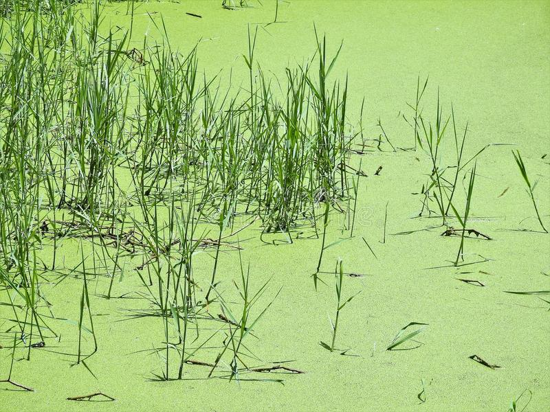 Green swamp in northern Thailand royalty free stock photos