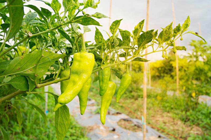 Green sweet peppers growing stock photography