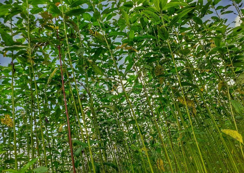 Green and tall Jute plants. Jute cultivation in Assam in India royalty free stock photos