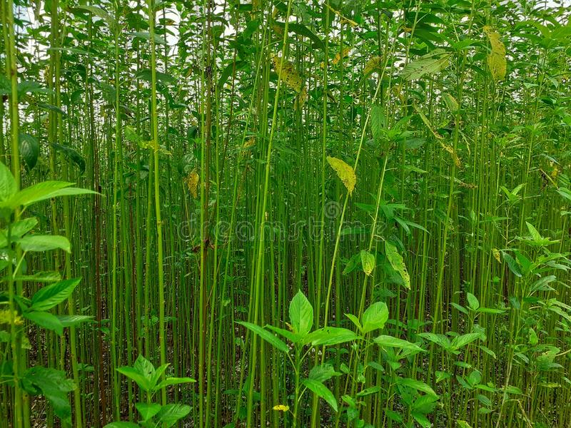 Green and tall Jute plants. Jute cultivation in Assam in India royalty free stock photo