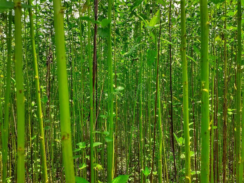 Green and tall Jute plants. royalty free stock photos