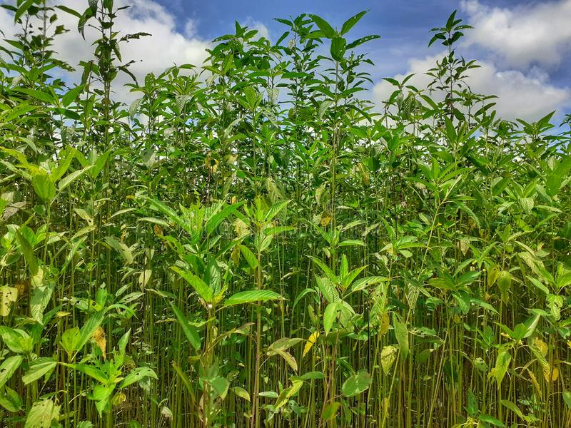 Green and tall Jute plants. Jute cultivation in Assam in India royalty free stock photography
