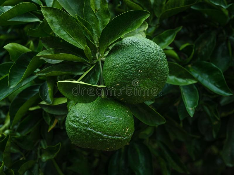 Green tangerines hanging on a branch royalty free stock photo