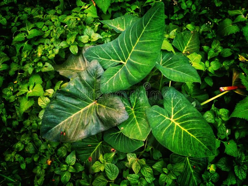 Green taro leaves between grasses image. Green taro leaves grasses image stock photo