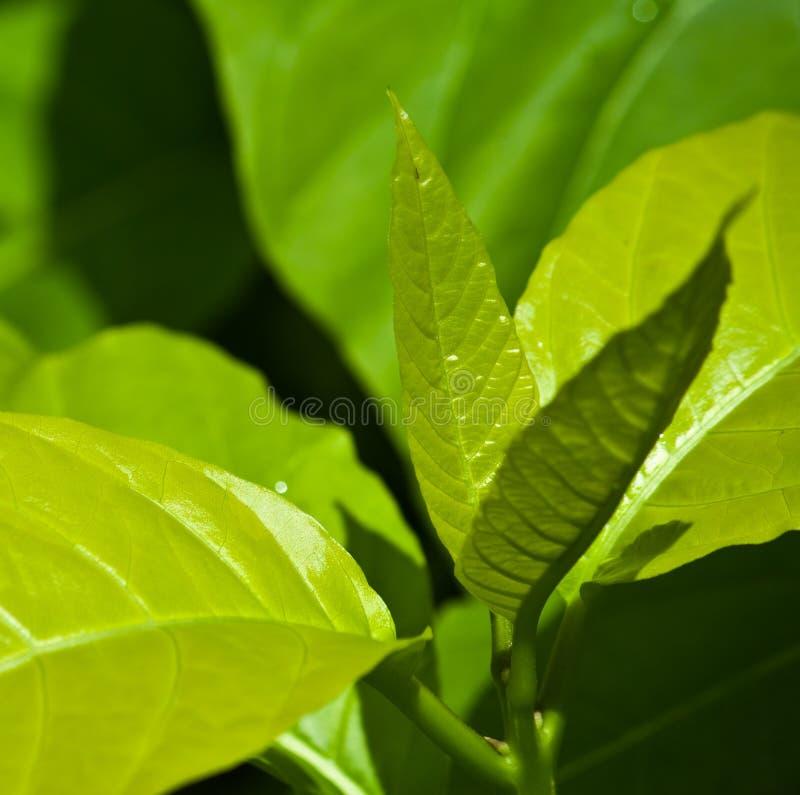 Free Green Tea Royalty Free Stock Photography - 15837007
