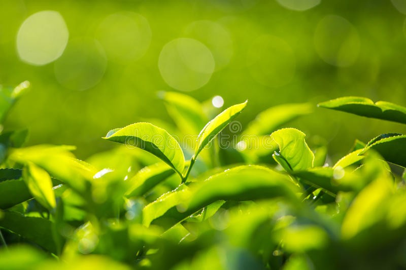 Green tea bud and fresh leaves. stock photography