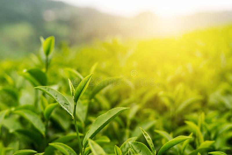 Green tea bud and fresh leaves with soft light, Tea plantation royalty free stock photo