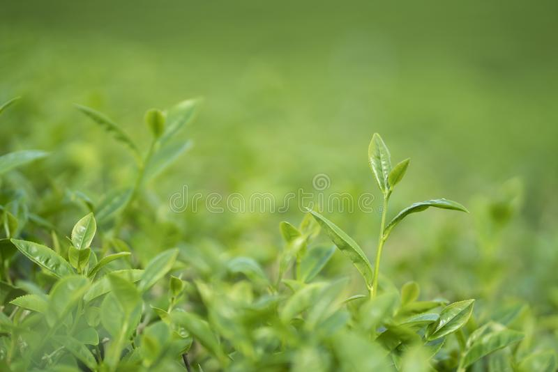 Green tea bud and leaves royalty free stock images