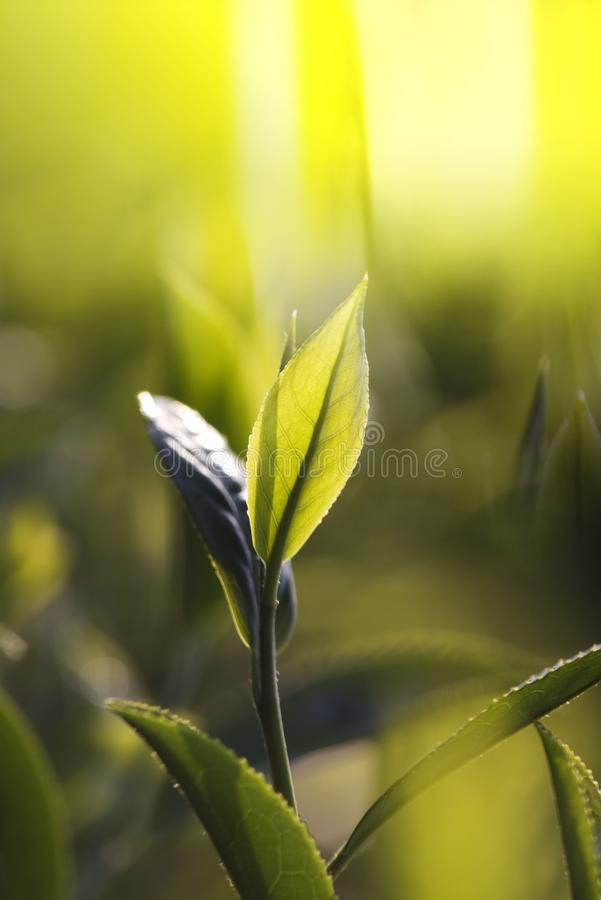 Green tea bud and leaves. Tea plantations, Taiwan royalty free stock photos