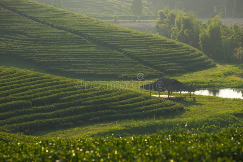 Green tea farm on hill and small shelter, Chiang Rai, Thailand stock photo