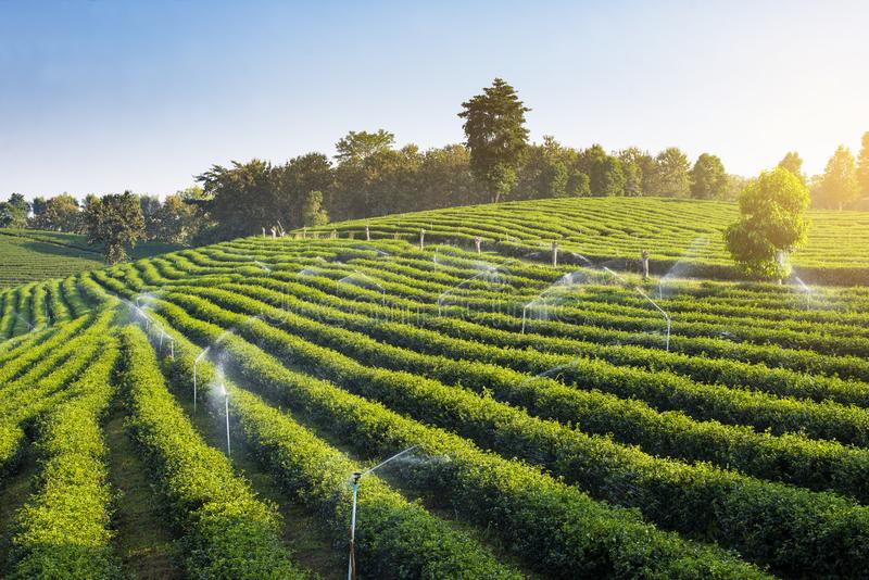 The green tea field agriculture in Chiangrai. Thailand royalty free stock photography