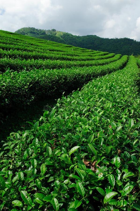 Green tea field, Chiangrai,Thailand. Green tea field in Chiangrai province, Thailand stock image