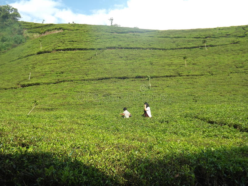 Green tea field stock photography